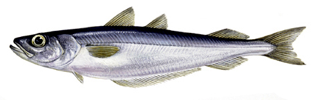 Blue whiting