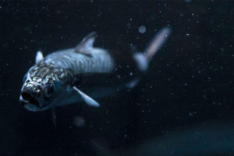 Atlantic mackerel