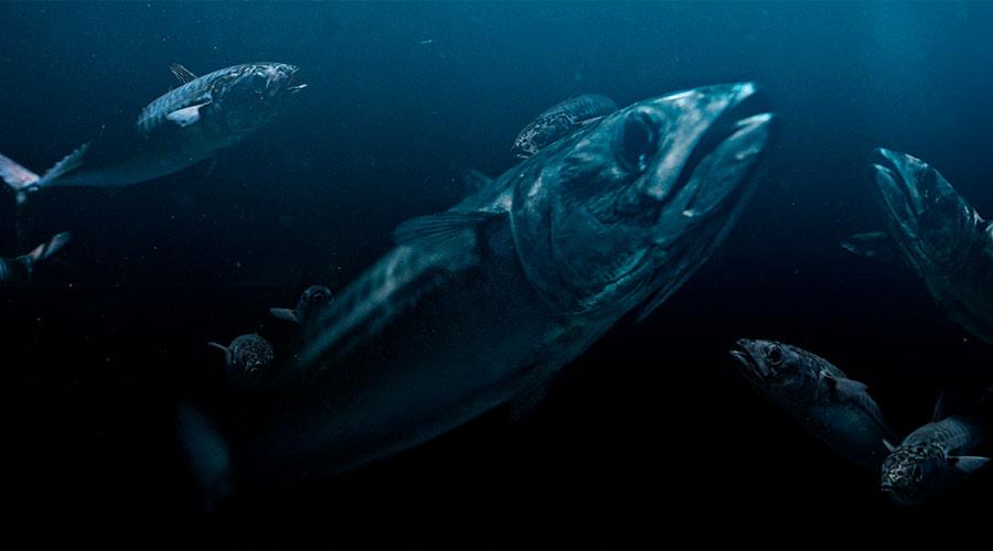 vardin atlantic mackerel
